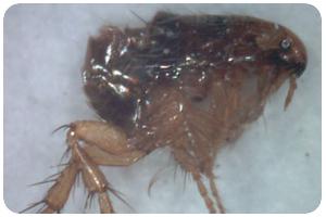 跳蚤-東保除蟲.高雄專業除蟲‧白蟻防治(防除白蟻)、消滅白蟻、家白蟻剋星、Sentricon、白蟻餌劑、白蟻防治藥劑…等白蟻相關問題諮詢、探討與分享。白蟻防治專線:07-725-3691
