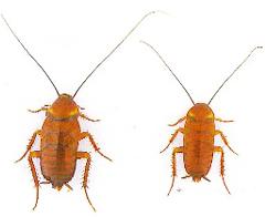 蟑螂-東保除蟲.高雄專業除蟲‧白蟻防治(防除白蟻)、消滅白蟻、家白蟻剋星、Sentricon、白蟻餌劑、白蟻防治藥劑…等白蟻相關問題諮詢、探討與分享。白蟻防治專線:07-725-3691