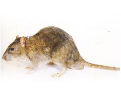 老鼠-東保除蟲.高雄專業除蟲‧白蟻防治(防除白蟻)、消滅白蟻、家白蟻剋星、Sentricon、白蟻餌劑、白蟻防治藥劑…等白蟻相關問題諮詢、探討與分享。白蟻防治專線:07-725-3691