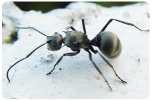 螞蟻-東保除蟲.高雄專業除蟲‧白蟻防治(防除白蟻)、消滅白蟻、家白蟻剋星、Sentricon、白蟻餌劑、白蟻防治藥劑…等白蟻相關問題諮詢、探討與分享。白蟻防治專線:07-725-3691
